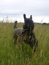 Aoife, Kerry Blue Terrier