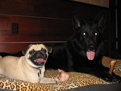 Bailey, Pug; Traak, German Shepherd