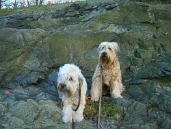 Brambles & Gaddy, Soft-Coated Wheaten Terriers
