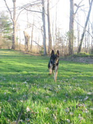 Guinness, German Shepherd