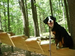 Hurley, Bernese Mountain Dog