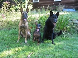 Taela, Belgian Malinois; Jasper, Miniature Pinscher; Traak, German Shepherd