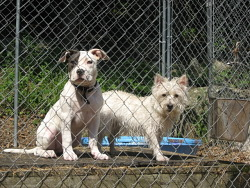 Lady, Pitbull and Chloe, Westie