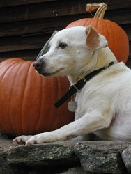 Samantha, Jack Russell Terrier cross