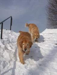 Wagner & Gibson, Golden Retrievers