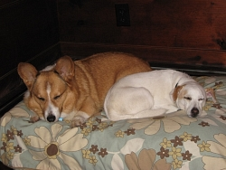 Woodrow, Pembroke Welsh Corgi + Samantha, Jack Russell Terrier cross
